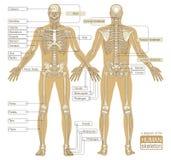 Un diagrama del esqueleto humano Fotos de archivo libres de regalías