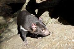Un diavolo tasmaniano fotografie stock libere da diritti