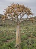 Un dichotoma del árbol o del áloe del estremecimiento Imagen de archivo