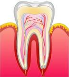 Un diente stock de ilustración