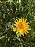 Un diente de león amarillo Imagen de archivo libre de regalías
