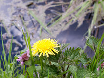 Un diente de león amarillo hermoso con un fondo azul del río Fotos de archivo libres de regalías
