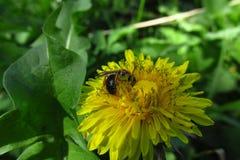 Un diente de león con una abeja que trabaja en ella con un fondo verde Fotografía de archivo libre de regalías