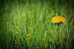 Un diente de león en el remiendo verde de la hierba Imágenes de archivo libres de regalías