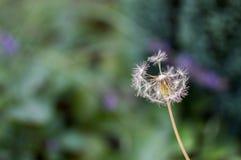 Un diente de león en un jardín Fotos de archivo