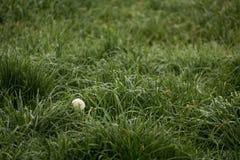 Un diente de león rodeado por la hierba en caída Foto de archivo