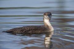 Un dingue noir-throated dans le plumage d'hiver plongeant dans un étang dans la ville Utrecht les Pays-Bas images stock