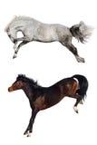 Un divertimento di due cavalli Fotografie Stock Libere da Diritti