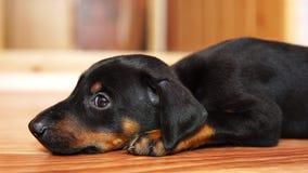 Un doberman della razza del piccolo cane che si trova sul pavimento video d archivio
