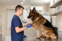 Un doctor profesional del veterinario examina a un pastor alem?n de la raza adulta grande del perro Un veterinario de sexo mascul imagen de archivo libre de regalías