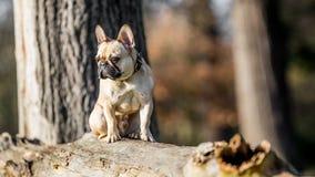 Un dogo francés arenoso que se sienta en un árbol caido fotografía de archivo libre de regalías