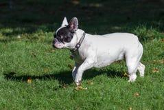 Un dogo francés en el parque fotografía de archivo libre de regalías