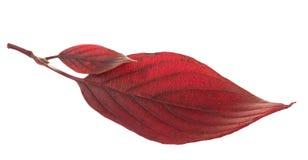 Un dogwood rosso dei due fogli Immagini Stock Libere da Diritti
