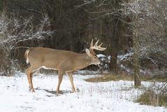 Un dollaro dei cervi dalla coda bianca che cammina nella neve di caduta in autunno tardo Fotografie Stock Libere da Diritti