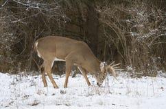 Un dollaro dei cervi dalla coda bianca che cammina nella neve di caduta in autunno tardo Immagini Stock