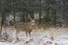 Un dollaro dei cervi dalla coda bianca che sta nella neve di caduta Immagine Stock Libera da Diritti