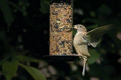 Un domesticus femminile del passante del passero con un seme nel suo Mo Fotografia Stock Libera da Diritti