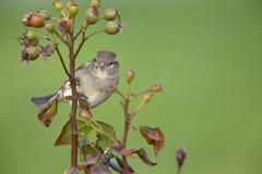 Un domesticus femminile del passante del passero appollaiato su un ramo di un cespuglio del cinorrodonte Dietro l'uccello un bell immagini stock