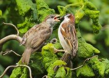 Un domesticus maschio adulto del passante del passero che alimenta un bambino immagine stock libera da diritti