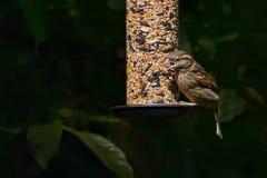 Un domesticus maschio del passante del passero sui wi di un alimentatore del giardino Fotografia Stock Libera da Diritti