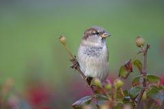 Un domesticus maschio del passante del passero appollaiato su un ramo di un cespuglio del cinorrodonte Dietro l'uccello un bello  fotografia stock