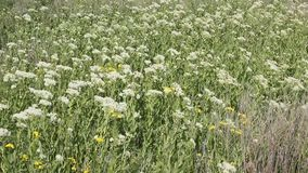 Un draba de Lepidium envahi par champ ou un cresson blanchi, clips vidéos