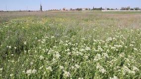 Un draba de Lepidium envahi par champ ou un cresson blanchi, banque de vidéos