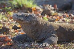 Un dragón de Komodo calienta en el sol de la mañana Fotografía de archivo