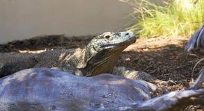 Un dragón de Komodo en un recinto del parque zoológico Fotografía de archivo libre de regalías