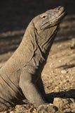 Un dragón de Komodo se incorpora para la fotografía Fotos de archivo libres de regalías