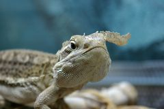 Un dragón de los rankin está cambiando sking imagenes de archivo