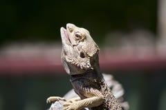 Un dragon barbu image libre de droits