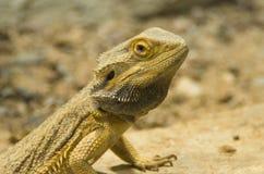 Un dragon barbu central sur un plan rapproché de roche photos stock