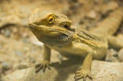Un dragon barbu central sur une roche Photo stock