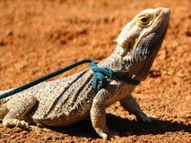 Un dragon barbu sur une laisse Images libres de droits