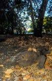 Un dragon de komdo camouflé dans les feuilles Photo stock