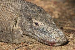 Un dragon de Komodo avec le sang et la salive Photos stock