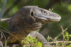 Un dragon de Komodo se cache dans la broussaille Images stock