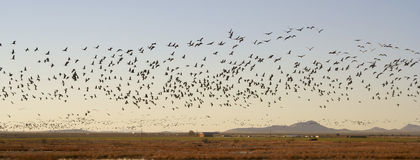 Un drenaje de Sandhill Crane Flock Flies Above Whitewater Fotos de archivo