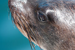 Un du troupeau énorme de natation de phoque de fourrure près du rivage du squelette Photo libre de droits