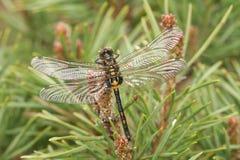 Un dubia au visage pâle rare nouvellement émergé de Leucorrhinia de libellule de Darter était perché sur un pin Photos stock