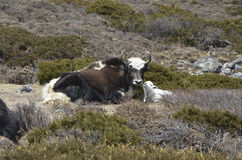 Un dzo ed il suo vitello Fotografie Stock