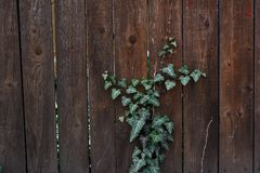Un'edera che scala lungo un recinto di legno fotografia stock libera da diritti