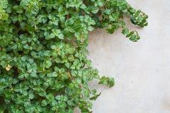 Un'edera su una parete Immagini Stock