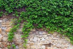 Un'edera verde su una parete di pietra, un bello backgroun Immagini Stock