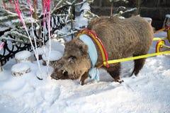 Un effigie del verro nella neve fotografia stock libera da diritti