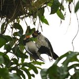 Un effort mort de poussin et de délivrance par l'oiseau de maman image libre de droits