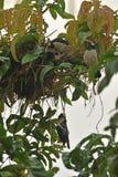 Un effort mort de poussin et de délivrance par l'oiseau de maman images libres de droits