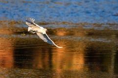 Un egret Immagine Stock