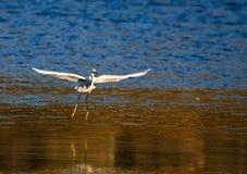 Un egret Fotografia Stock